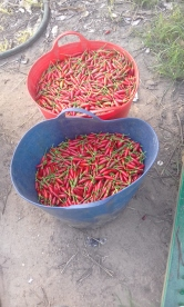 Last weeks chilli picking efforts